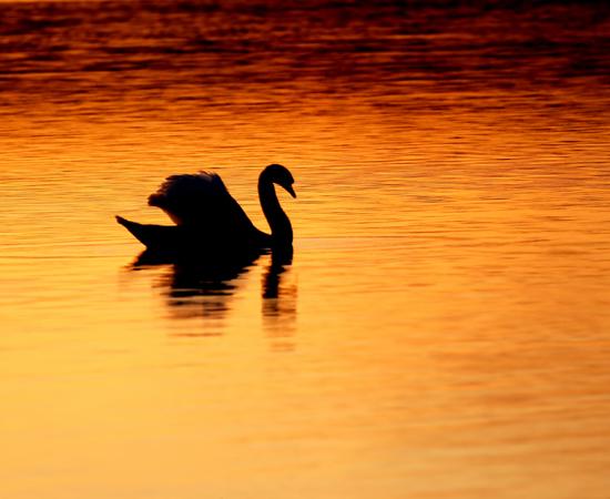 Svan solnedgång 550