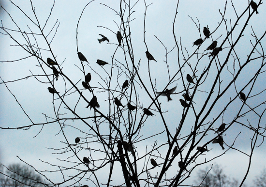 Fågelträd 550